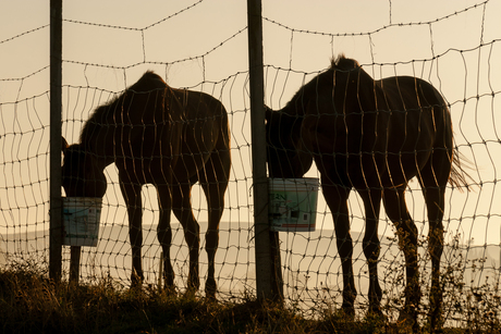 Drinkende paarden in de vroege morgen