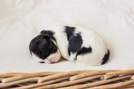 Puppy portret