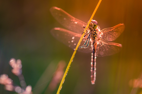 Dragonfly in my Dream