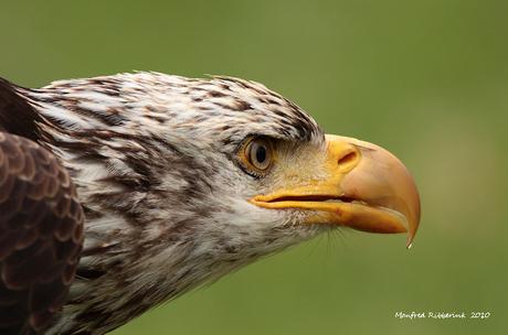 Bald eagle ( Max )