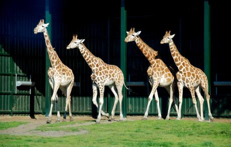 Giraffenrace
