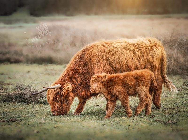 Schotse hooglander met kalf - Deze prachtige Schotse hooglanders staan in natuurgebied Huis ter Heide in het mooie Noord Brabant. - foto door johnvandenheuvel-3 op 08-04-2021 - locatie: 5175 Loon op Zand, Nederland - deze foto bevat: koe, schotse hooglander, kalf, natuur, brabant, oog, ecoregio, fabriek, natuurlijk landschap, lucht, zoogdier, atmosferisch fenomeen, gras, fawn, grazen