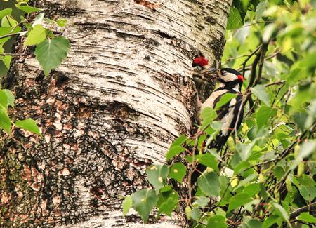 Grote bonte specht voert jong - Wachtend op groot wild, was een specht paar zijn jong aan het voeren. Hier voert het mannetje het jong. Het mannetje heeft een rood kapje achter op z - foto door Waltherwb op 08-04-2021 - deze foto bevat: #specht, #vogels, fabriek, plantkunde, blad, afdeling, hout, boom, vegetatie, terrestrische plant, kofferbak, biome