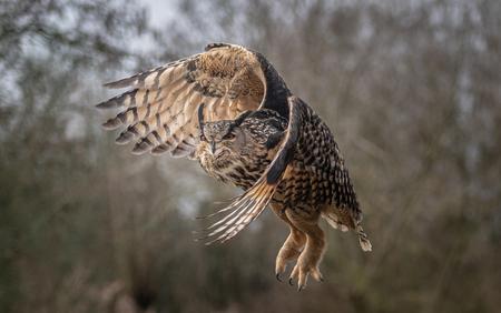 Owl - Pino - foto door makeuniquefotografie op 08-04-2021 - deze foto bevat: uil, oehoe, vogel, roofvogel, natuur, bruin, veren, vogel, accipitridae, valk, bek, uil, galliformes, adelaar, kiekendief, falconiformes, terrestrische dieren