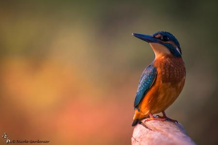 Kingfisher 2 - Belichting en schaduw iets veranderd. - foto door nicolegardenier17 op 31-10-2019 - deze foto bevat: herfst, tuin, ijsvogel