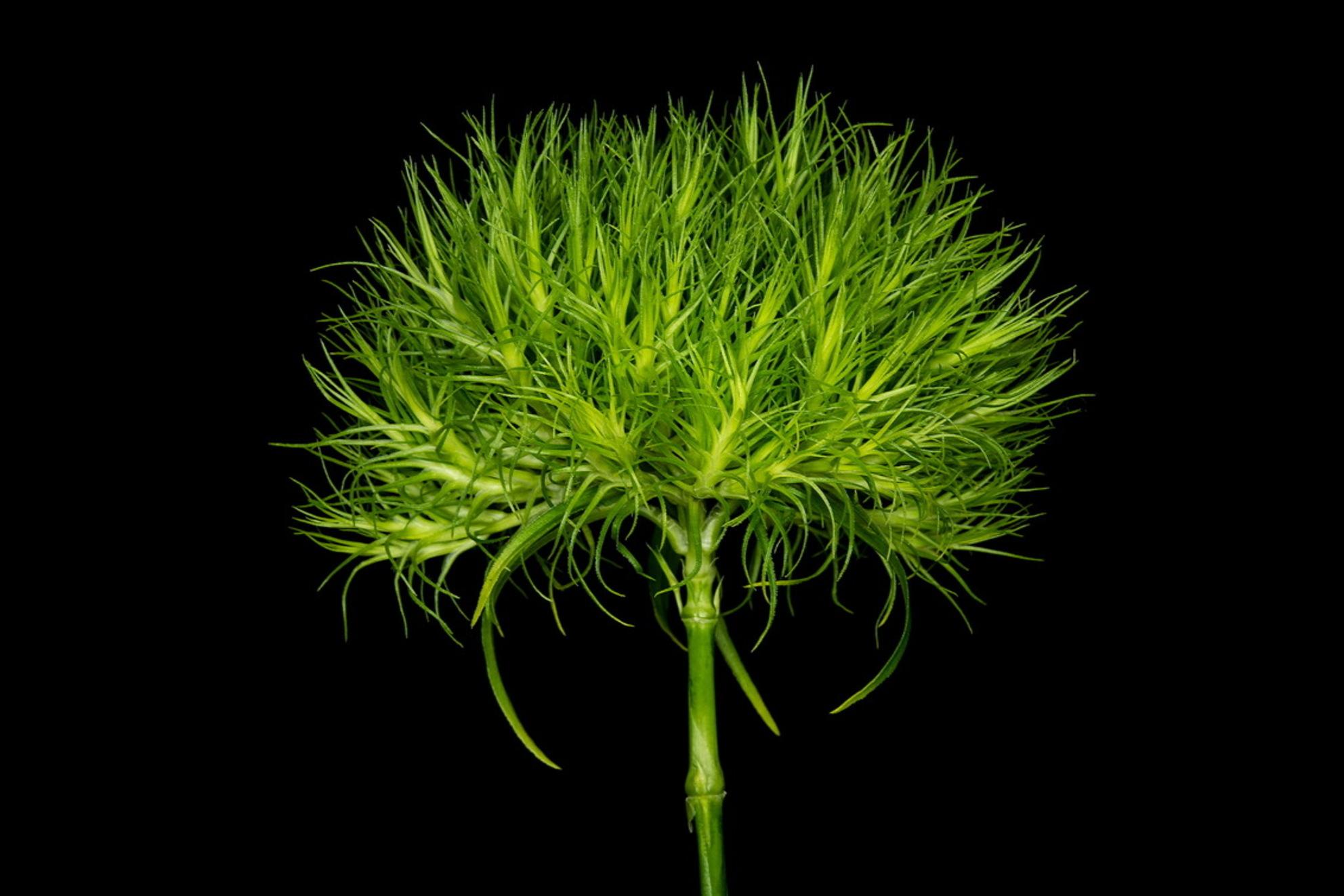 Groen - - - foto door emilewiersum op 02-07-2018 - deze foto bevat: groen, macro, bloem, natuur, tuin