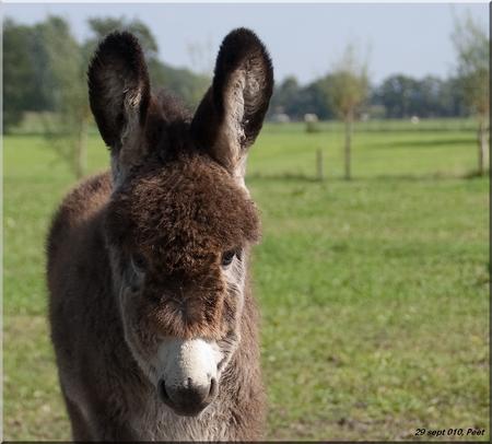 Ezeltje met grote oren. - Ezeltje, een archief foto uit 2010. - foto door jansenpeet op 14-12-2012 - deze foto bevat: ezels