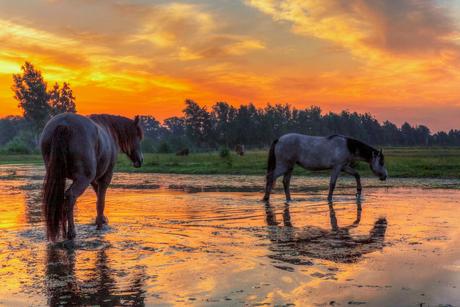 Deze paarden zoeken enigszins verkoeling in het water, tijdens de zonsopkomst in Zenderen, Overijssel