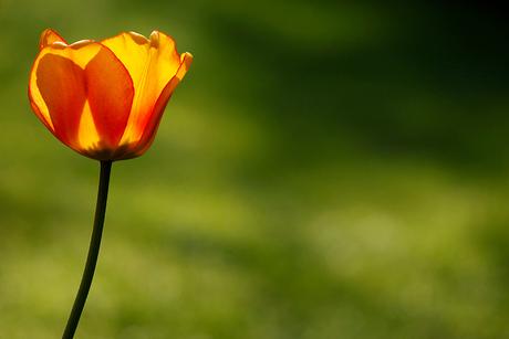 Tulp in Ochtendlicht