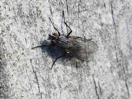 Bloemvlieg - Anthomyiidae indet.