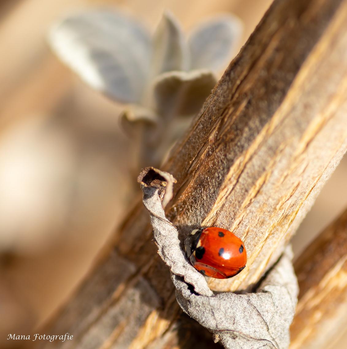 De zon weerkaatst in de vleugels - Als de zon weerkaatst in de vleugels van een lieveheersbeestje dan weet je dat de lente er aan komt! - foto door Manafotografie op 20-02-2021 - deze foto bevat: macro, lente, natuur, lieveheersbeestje, licht, tuin, vlindertuin