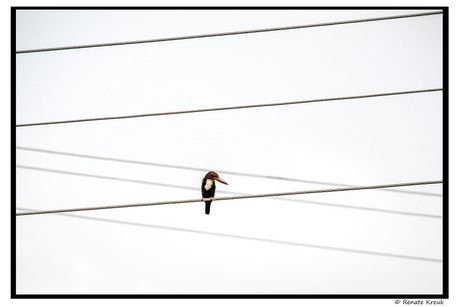 Kingfisher on a string