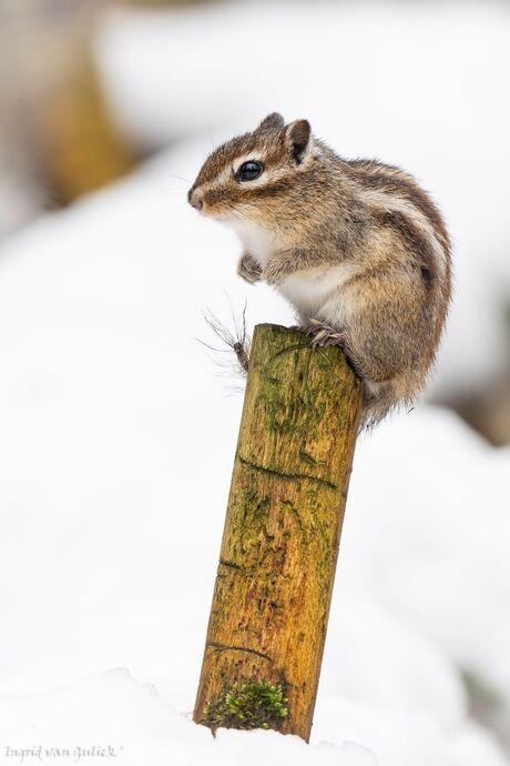 20210214 Siberisch grondeekhoorntje in de sneeuw 1