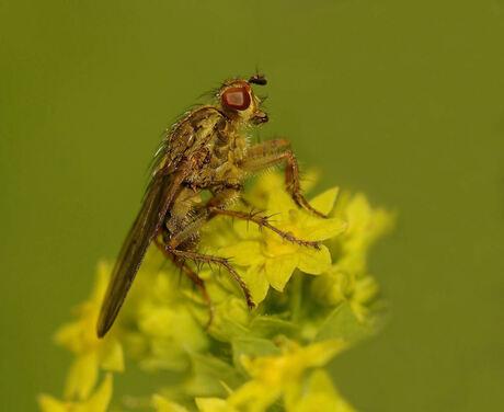 De strontvlieg op de bloemetjes van de vrouwenmantel.