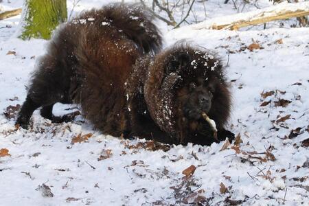 Mijn hondje in de sneeuw - Dankzij de sneeuw is ze zoo blij dat ze zelfs met stokjes wil spelen. - foto door annapictures op 10-01-2011 - deze foto bevat: sneeuw, hond