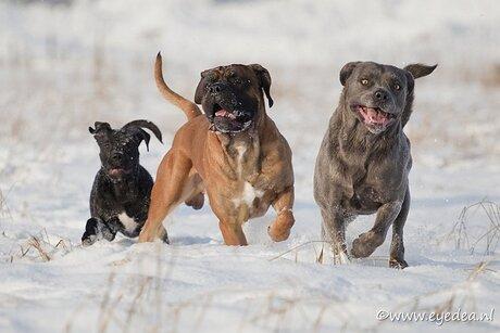 Mijn 3 cane corso's