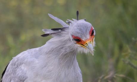 Secretaris vogel
