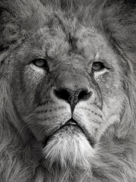 Koningsportret in zwart wit