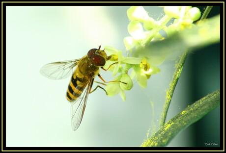 Yellow pollen