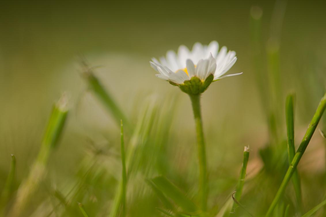 gewoon zoals het is laag bij de grond - ** - foto door dettyverbon op 27-05-2014 - deze foto bevat: macro, bloem, natuur, utrecht, madeliefje, botanische tuin