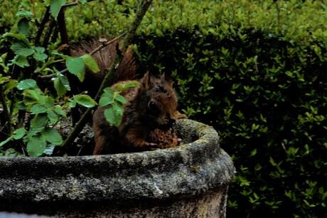 klets natte eekhoorn met zijn noot