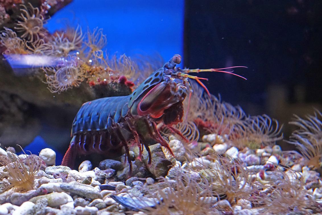 Bidsprinkhaankreeft - ook dit is een gekweekt onderwater diertje, maar zo bijzonder dat ik een foto gemaakt heb van zijn naam. gr. Nel - foto door Nel Hoetmer op 14-04-2016 - deze foto bevat: blijdorp, nel