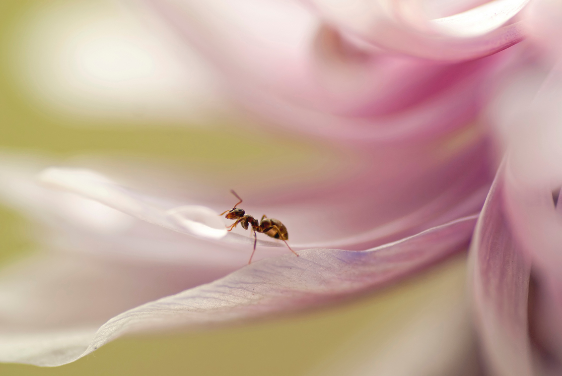 Nieuwsgierig aagje - Kijk ook even groot. Dit miertje was stiekem meegelift toen ik een uitgebloeide anemoon mee naar binnen had genomen om wat druppelfoto's te maken.  - foto door birgitte61 op 17-09-2015 - deze foto bevat: roze, macro, wit, bloem, natuur, druppel, licht, herfst, mier, insect, anemoon, dof