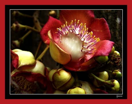 Flower from Jamaica
