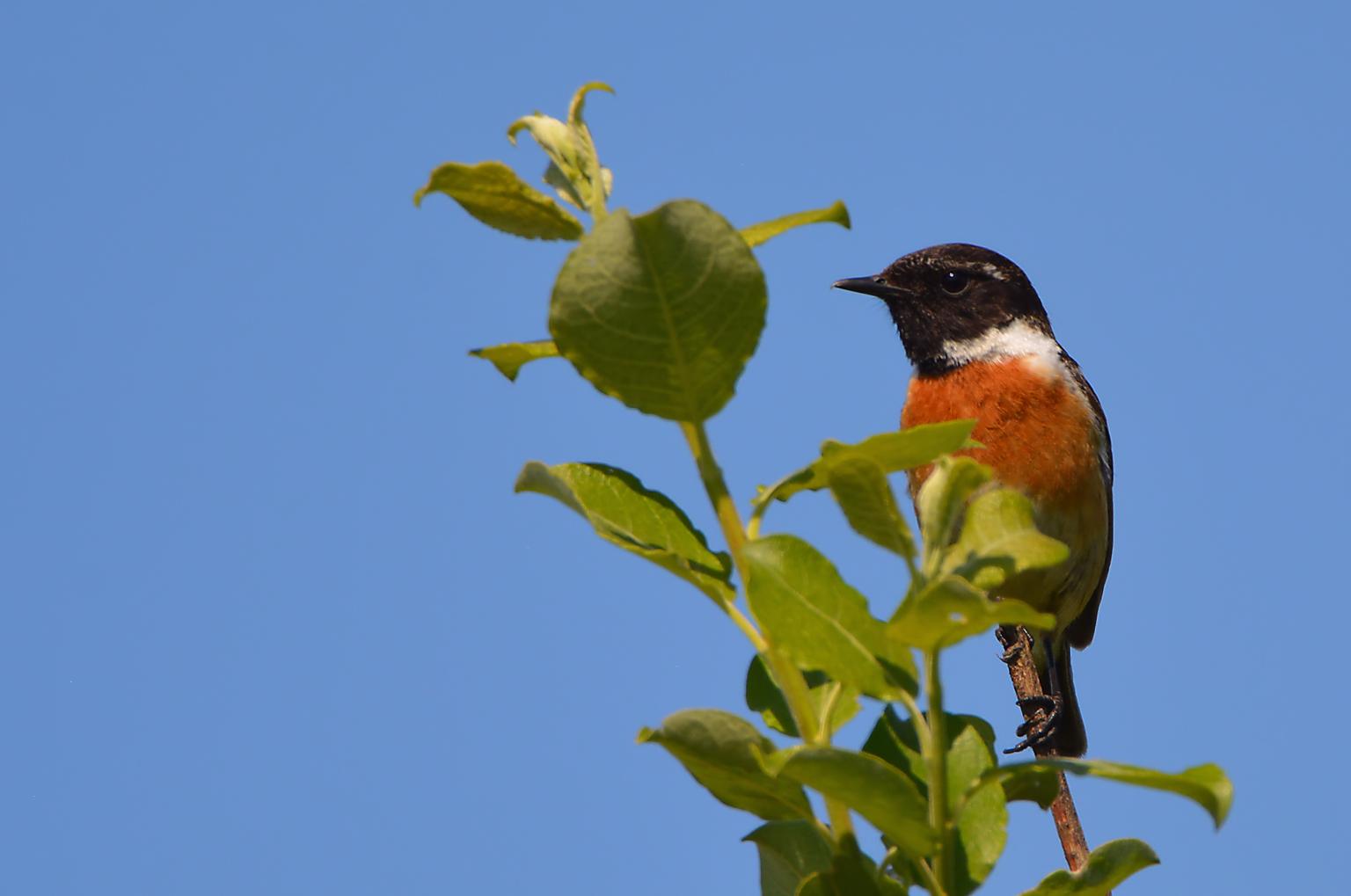 Roodborsttapuit - Saxicola Rubicola - foto door hayke op 11-04-2021 - locatie: 5944 Arcen, Nederland - deze foto bevat: vogel, lucht, fabriek, afdeling, takje, bek, chickadee, zangvogel, staart, neerstekende vogel