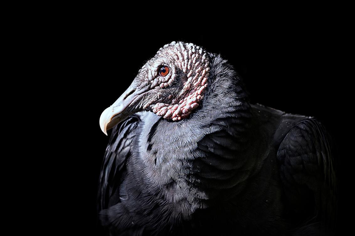 Zwarte Gier - Uit mijn serie - Animals in Darkness - de Zwarte Gier. Deze vogel herinnert me altijd aan de film klassieker 'The Dark Crystal'. Hmmm... - foto door daveenrenee op 10-11-2018 - deze foto bevat: dierentuin, natuur, dieren, vogel, gier, wildlife