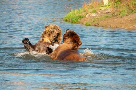 Spelende beren