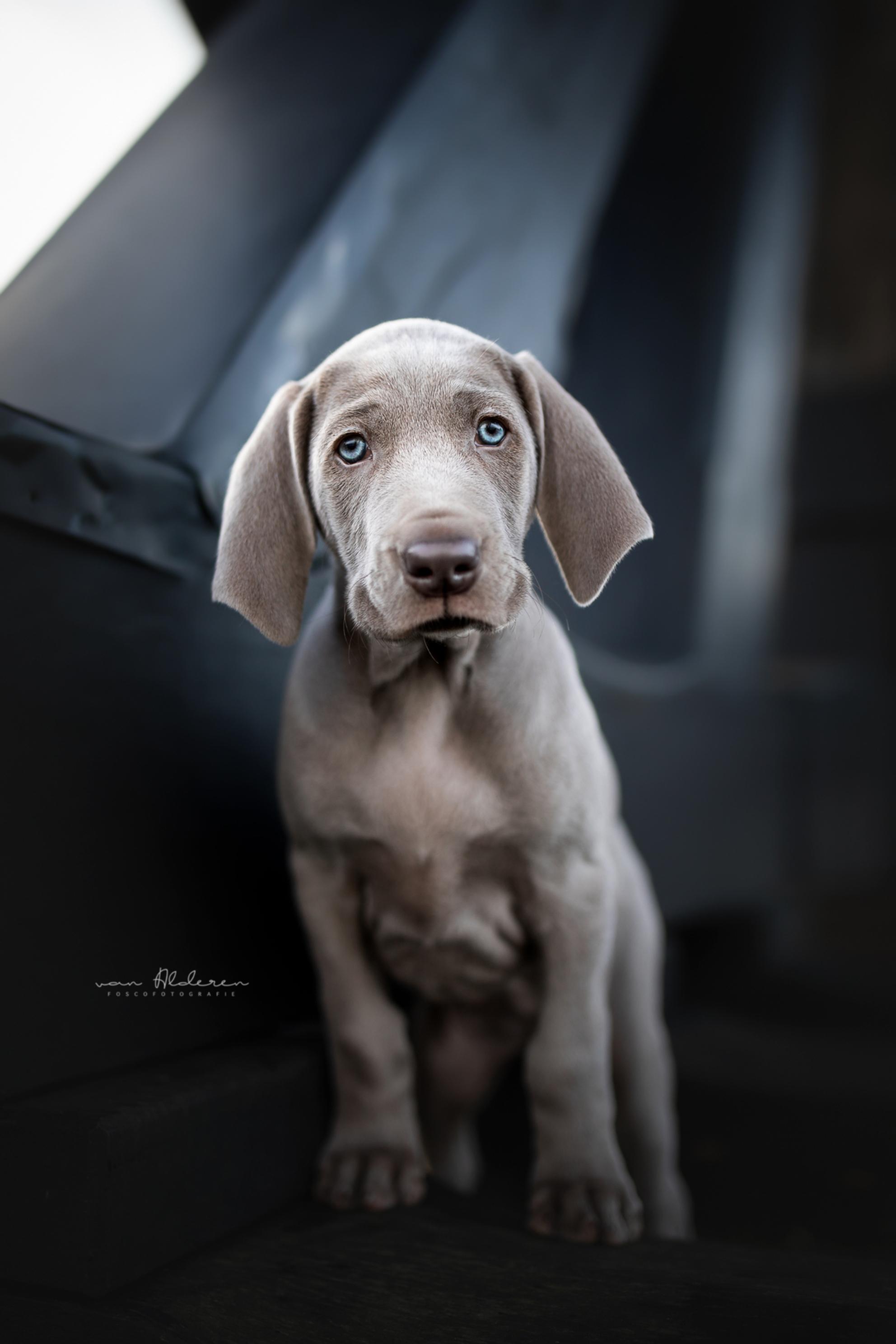 Weimaraner puppy - Kleine Weimaraner puppy in een mooi vestingstadje in Noord-Brabant. - foto door foscofotografie op 07-01-2021 - deze foto bevat: natuur, portret, dieren, huisdier, hond, honden, tegenlicht, dier, stad, lief, jong, puppy, scherptediepte, focus, dof, schattig, dierenfotografie, hondenfotografie, blauwe ogen, natuurlijk licht, systeemcamera, spiegelloos