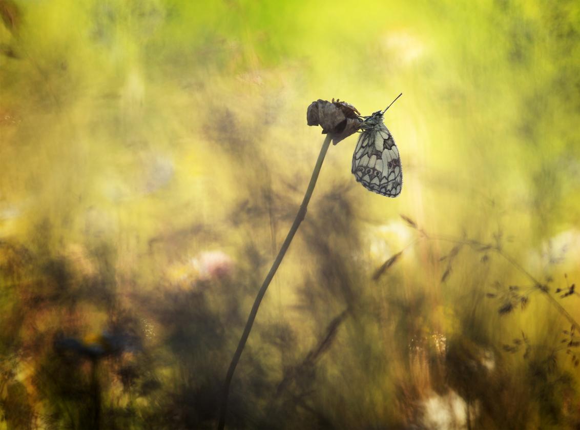 Nature's art - Spelen met een vlinder (Dambordje), licht en vegetatie. Dank voor jullie reactie's op 'Transformation'. Groet Arjo. - foto door arjovandijk op 11-06-2019 - deze foto bevat: macro, bloem, natuur, vlinder, dof, dambordje, bokeh, arjovandijk