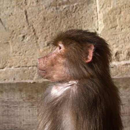 nog een boevenportret - Eén van de reacties op mijn berberaap-foto van gisteren was dat de pose sterk aan een politiefoto doet denken. Apen zijn kennelijk gewend om voor de  - foto door BasvanHulst-Kuiper op 02-07-2020 - deze foto bevat: dierentuin, aap, baviaan, dierenpark, zoo, primaat, wildland, papio hamadryas, wildlands emmen, bas van hulst-kuiper, basvanhulst-kuiper, manterbaviaan
