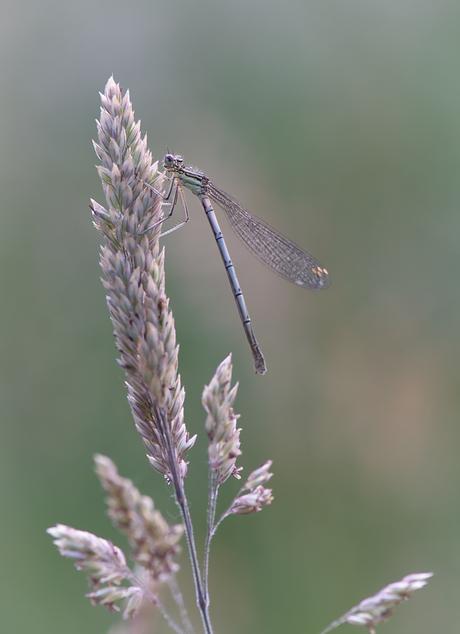 Lady Dragonfly