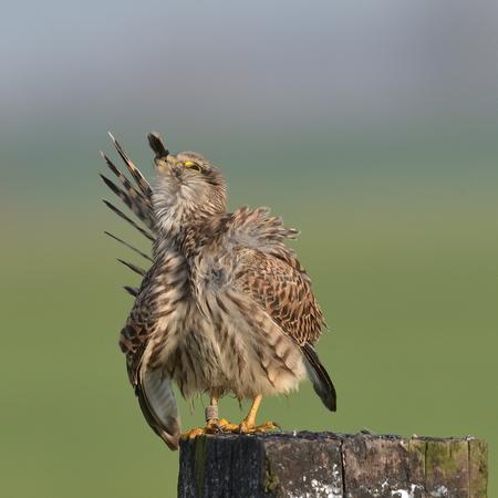 cleaning feathers - afgelopen week dit poetsende vrouwtje torenvalk kunnen vast leggen en heb er een leuke serie van kunnen maken , iedereen bedankt voor de fijne reacti - foto door hansdegreeff op 27-11-2020 - deze foto bevat: torenvalk