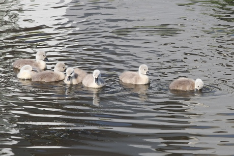 jonge zwanen