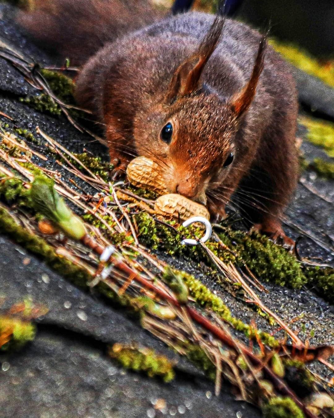 Eekhoorn - Plat op zijn buik - foto door Erikvdzwan op 12-04-2021 - locatie: Beekbergen, Nederland - deze foto bevat: knaagdier, fabriek, euraziatische rode eekhoorn, hout, bakkebaarden, takje, boom, fawn, eekhoorn, gras