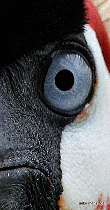 oog van een kroonkraanvogel