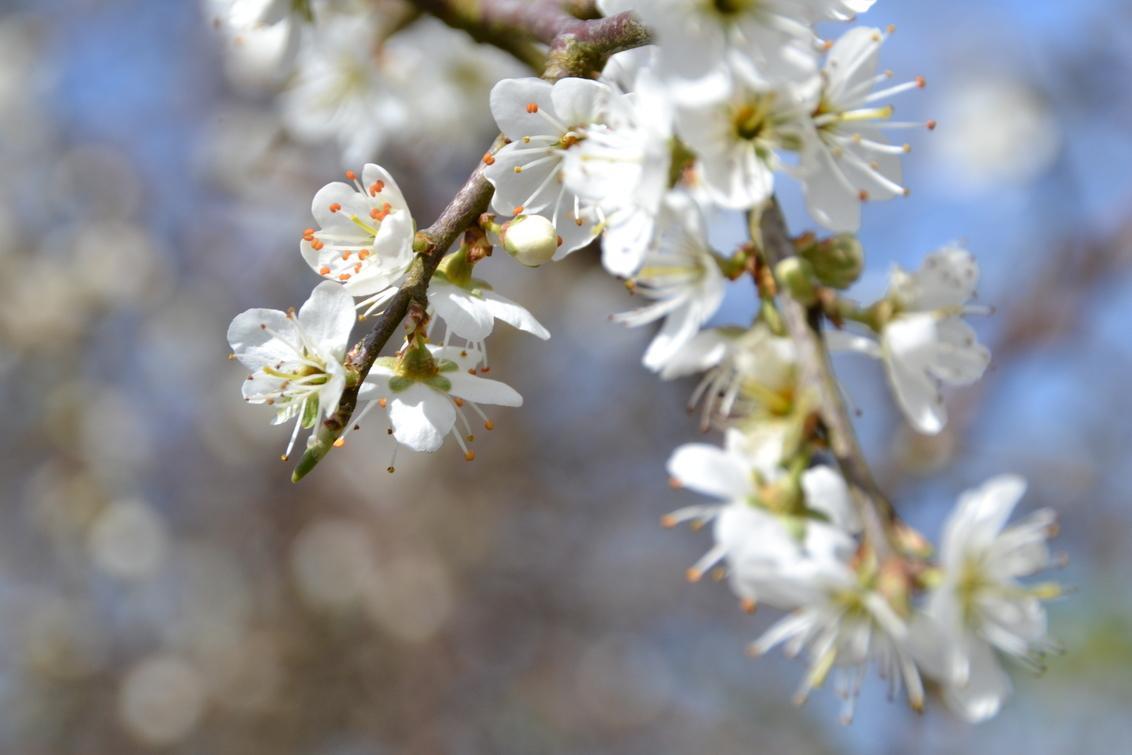 Blooming! - Tijdens een wandeling over een oud spoor in Ierland kwamen we deze boom tegen. Prachtig in de bloei! Die kon ik niet zomaar voorbij lopen. - foto door Fleura op 30-06-2017 - deze foto bevat: lucht, boom, bloem, blad, voorjaar, bokeh