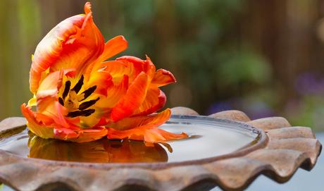 tulp weerspiegeling