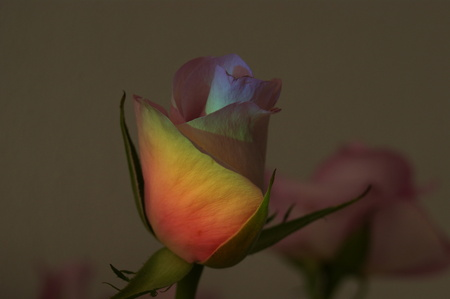 regenboog roos - DSC03360.JPG - foto door Ciele op 28-10-2014 - deze foto bevat: bloem
