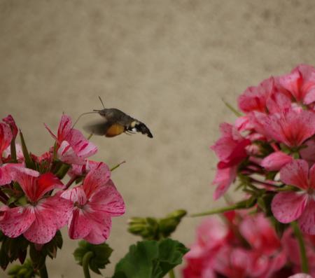 Deze Kolibrivlinder is een druk baasje. - Deze Kolibrivlinder was druk in de weer met deze geraniums. - foto door wimvanthei op 30-08-2012 - deze foto bevat: bloem, vlinder, frankrijk, geranium, kolibri
