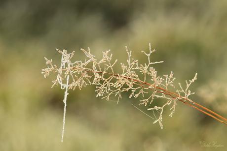 Berijpt gras