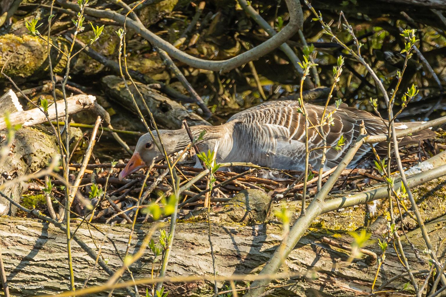 Gecamoufleerd - Deze moedergans viel mij op doordat ze zo ineen gedoken op het nest lag. Nu bleek ze op een 5-tal eieren te liggen en om zich voor naderend onheil te - foto door Jimbob op 16-04-2021 - locatie: 5327 Hurwenen, Nederland - deze foto bevat: gans, broeden, schutkleur, fabriek, bek, carnivoor, geschaald reptiel, reptiel, organisme, takje, gras, fawn, terrestrische dieren