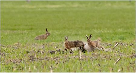 Paringsdrift - Mannetjes hazen (rammelaar) jagen achter de vrouwtjes aan om met ze te kunnen paren maar daarvoor moet er eerst een flinke achtervolging worden ingez - foto door Gertj123 op 11-04-2021 - locatie: 7678 Geesteren, Nederland - deze foto bevat: zoogdier, gras, gedrag, fabriek, gras, fawn, natuurlijk landschap, gewoon, grasland, bodembedekker, terrestrische dieren, weide, prairie