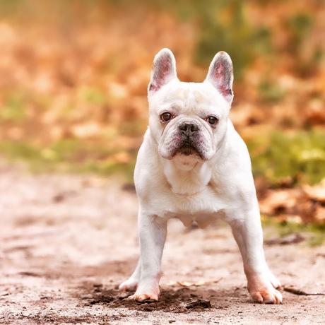Onze knappe Franse Bulldog