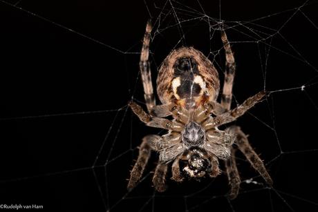kleine spin geniet van de donkere avond