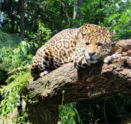 Luipaard - Luipaard lag een dutje te doen op een boomstam. - foto door Erzanna op 29-06-2015 - deze foto bevat: dierentuin, wildlife