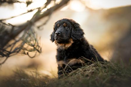 Hovawart puppy Alenka - Portret van een Hovawart puppy met mooi zacht licht. - foto door foscofotografie op 03-05-2021 - locatie: Bergen, Nederland - deze foto bevat: hond, honden, puppy, lief, schattig, portret, dier, dieren, natuur, zee, strand, duinen, zonsondergang, tegenlicht, dierenfotografie, hondenfotografie, canon, sigma, scherptediepte, bokeh, dof, hond, carnivoor, zonlicht, metgezel hond, fabriek, hondenras, gras, spaniël, boom, tinten en schakeringen